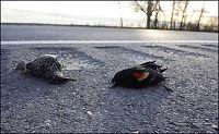 500 «nye» fugler funnet døde i USA