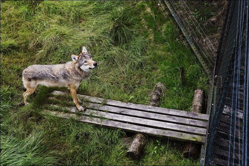 IKKE I SLEKT: Dyreparken i Kristiansand er blant stedene i Skandinavia hvor det finnes ulv i fangenskap. Dette bildet er tatt i høst. Foto: Magnar Kirknes, VG
