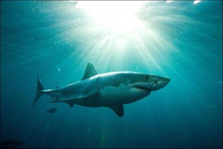 79 ANGREPET: Ikke siden 2000 har tallet på haiangrep vært så høyt som i 2010. Foto: Afp