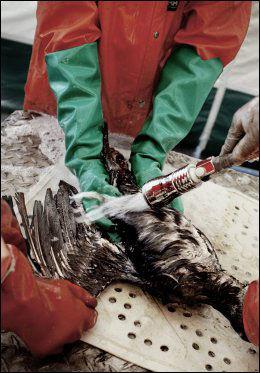 FRYKTER NYTT LANGESUND: Fuglehjelpens leder Pelle Wickström frykter oljelekkasjen på Hvaler kan få store konsekvesner dersom de ikke kommer i gang med å vaske oljeskadede fugler tidlig. Bildet er fra vaskingen av fugl i Langesund i 2009. Foto: Espen Rasmussen