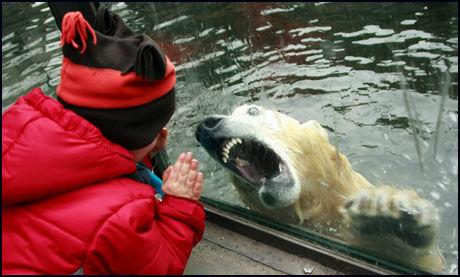 KLARTE IKKE ET LIV I RAMPELYSET: Knut ble tidvis aggressiv etter at han ble voksen. Dette bildet er fra 2008. Foto: All Over Press
