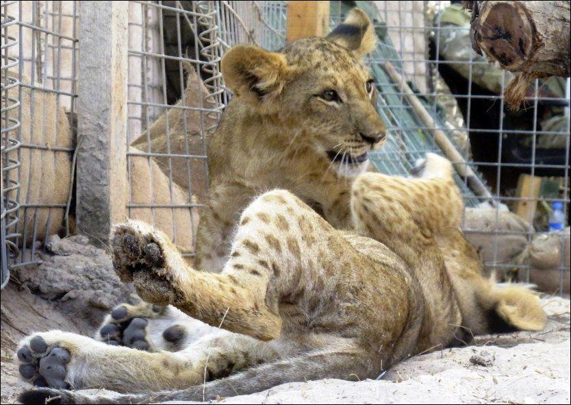 LEKER: Bror og søster løve som fikk moren sin skutt av dyresmuglere i Somalia, er nå blitt reddet. Foto: AP