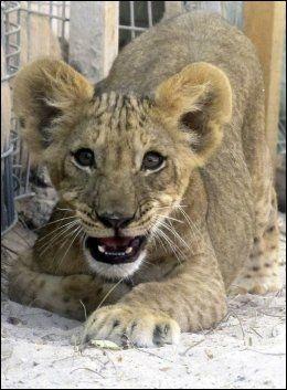 VISER TENNER: Løveunger er ikke vante med å bli fotograferte. Foto: AP
