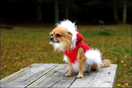 VOFF VOFF: Chihuahua er hund med lavt utslipp, her for anledningen i nissedrakt. Foto: Alf Øystein Støtvig