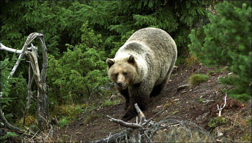 - GJØR SKADE: Livet blir tøffere for Norges bjørner etter det nye rovdyrforliket. Det skal maksimalt være 212 bjørner i landet. Foto: Geir Olsen