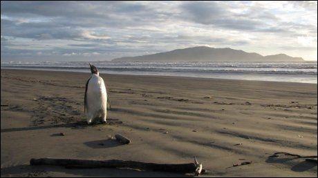 SENSASJON: Den unge pingvinen har svømt lengre enn langt for å komme seg til New Zealand. Der har den vekket stor oppsikt. Foto: AFP