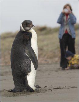 LANGT HJEMMEFRA: Den unge pingvinen har slitt med å tilpasse seg New Zealand. Foto: AP
