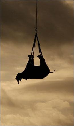 FRA DUMBO TIL NUMBO: Etter å ha blitt bedøvet, blir neshornene løftet til værs med helikopter. Foto: GREEN RENAISSANCE