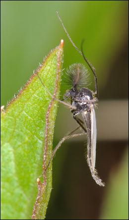 FJÆRMYGG: Selv om mange forbinder mygg med noe som stikker, så gjør de aller fleste mygg-artene ikke det. Fjærmyggen, her en i slekten stictochrioronomus, er blant dem. Foto: Torbjørn Ekrem