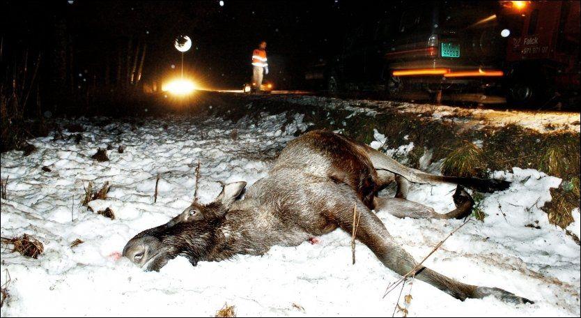 PÅKJØRT: Denne elgen måtte bøte med livet etter at den ble påkjørt ved Korsen på fylkesvei 17 i Namdalseid forrige fredag. Foto: BJØRN TORE NESS / NAMDALSAVISA