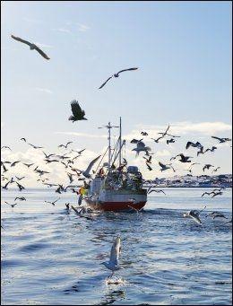 HAVØRN: Måkene fråtser i godsaker rundt fiskeskøytene i Øyhellsundet - helt til en havørn kaster seg inn i festmåltidet. Foto: GØRAN BOHLIN