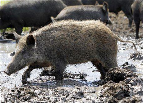 SVINERI: Mannen trodde lydene fra kjæresten i skogen kom fra et svin. Illustrasjonsfoto: Mike Groll, AP
