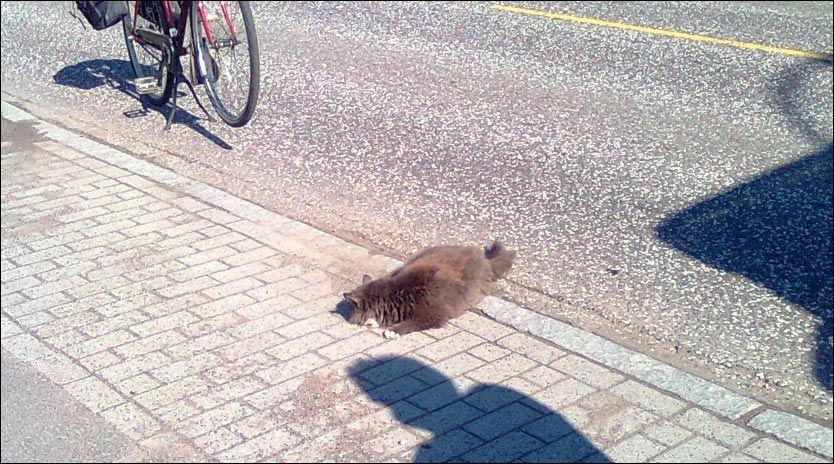 MÅTTE AVLIVES: Katten ble kjørt over to ganger av politipatruljen før den døde. Øyenvitner reagerer sterkt på politiets måte å avlive katten på. Foto: Ivar Toms