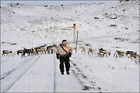 Sametinget krever gjerder langs Nordlandsbanen