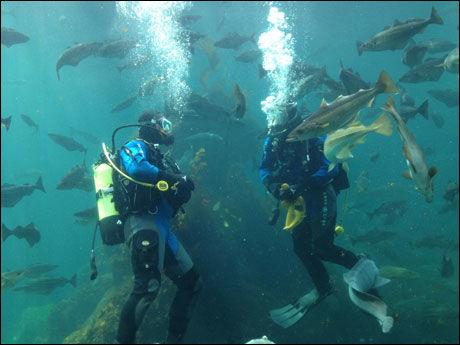 SOM FISKEN I VANNET: Andrew Evans (t.v.) og akvarist Rune Veiseth i Atlanterhavsparken dykker i et av akvariene. Foto: DIGITAL NOMAD