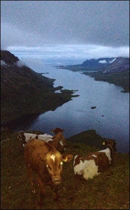 NATT I FJELLET: Her er kalvene fotografert natt til fredag, da fjellklatrere besøkte dem på fjellhyllen. Foto: JAN VIMME