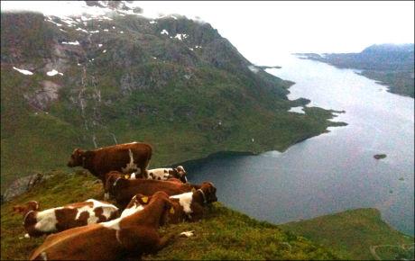 BIFF FRA ØVERSTE HYLLE: Remi Jenssen, som eier kalvene, har allerede fått flere forespørsler fra folk som vil kjøpe kalvene, for å sikre dem et langt liv. Men bonden forsikrer at de ikke vil bli biff med det første. Foto: JAN VIMME