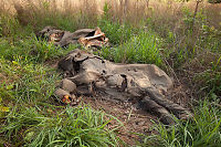 Brutal nedslakting av tre hundre elefanter