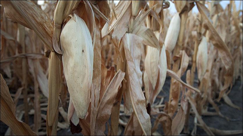 TØKE: Ødelagte maisavlinger har blitt et stort problem for USA, som i sommer har opplevd sin verste tørkeperiode på 50 år. Foto: Reuters