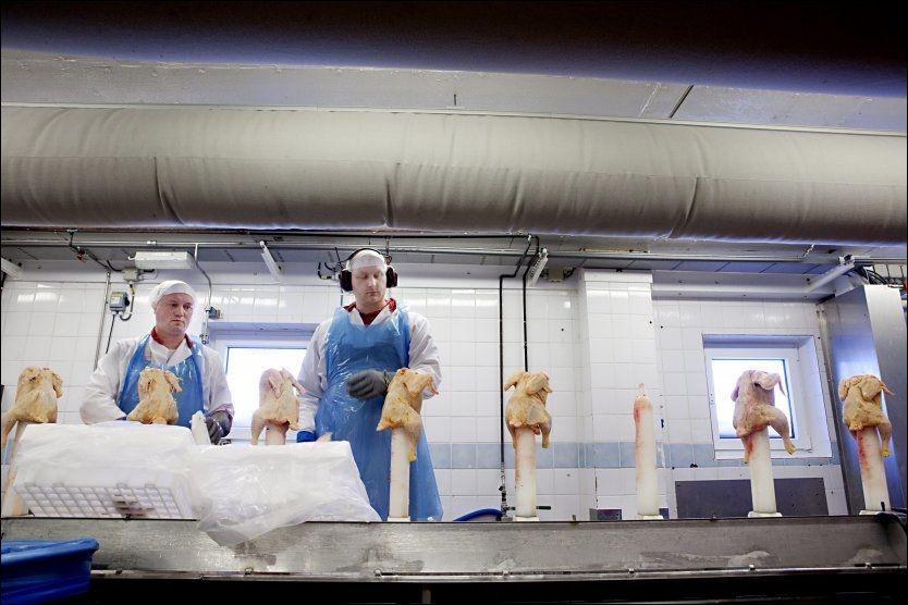 PRODUSERER: Roman Romanous (til venstre) og Georg Wedel skjærer Liveche-kylling for Nortura på Hærland, i 2010. Foto: Annemor Larsen, VG