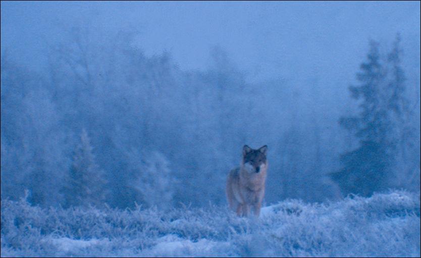 ULV I ØSTMARKA: Personell fra Statens naturoppsyn og Høgskolen i Hedmark har sporet ulvene i Østmarka. Dette bildet er et illustrasjonsfoto. Foto: LARS GANGÅS / STATENS NATUROPPSYN