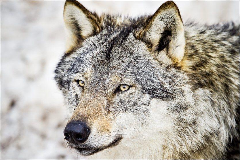 ULV: Et ulvepar er i ferd med å etablere seg i Østmarka, og meningene er delte. Her er en ulv som er fotografert i Namsskogan Familiepark. Foto: Øyvind Nordahl Næss/VG