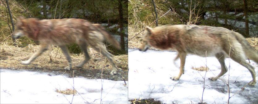 TROLIG DREKTIG: Ulven til høyre er rundere rundt magen enn maken sin. Her lusker de forbi et viltkamera i slutten av april. Foto: http://viltkamera.nina.no
