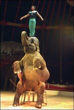 SITTER: Sitteøvelsen, her vist ved Cirkus Arnardo tilbake i år 2000, er ifølge elefantekspert Marion E. Garaï potensielt livsfarlig. FOTO: NILS BJÅLAND