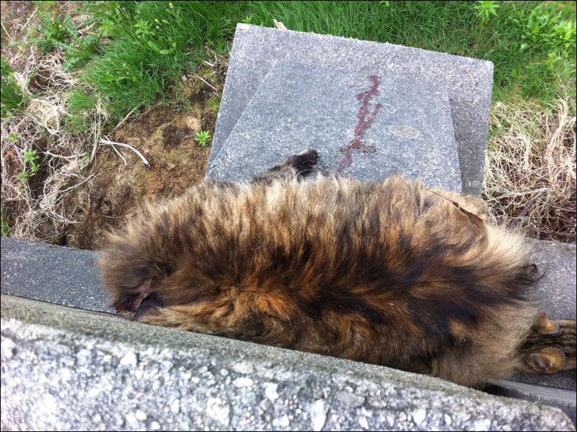 DREPT: Katten Phil (6 år) ble funnet drept på en bro ved Bleikemyr i Haugesund. Broen brukes blant annet av barn på vei til skole i området. Til sammen er fire katter funnet mishandlet og drept i Haugesund de siste ukene. Foto: MONA HØIE/DYREBESKYTTELSEN