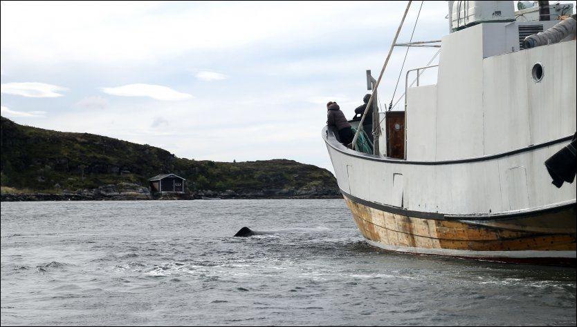 PÅ RØMMEN: Her jages spermhvalen vekk med bråk av hvalekspertene og brannvesenet. Foto: NORBERT VAN DE VELDE