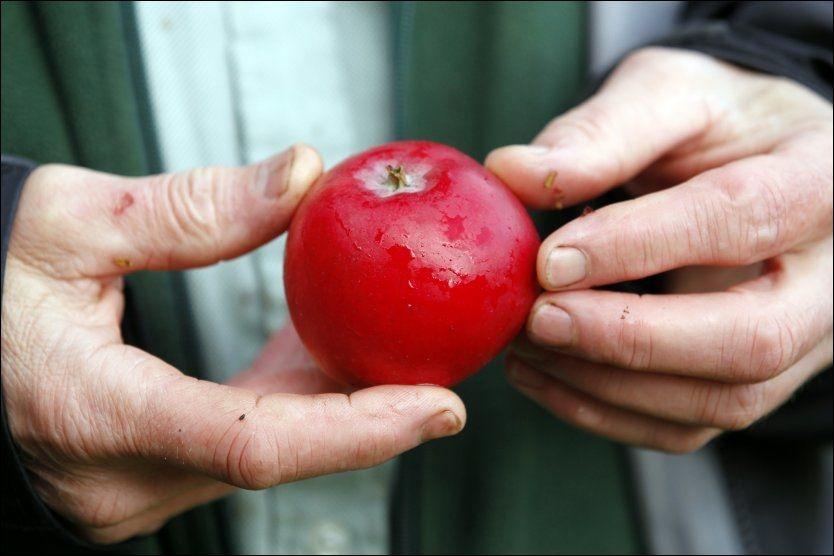 REDUSERER RISIKO: Spiser du ett eple om dagen reduseres risikoen for hjerteinfarkt eller slag med hele 12 prosent, ifølge en ny studie. Foto: HALLGEIR VÅGENES