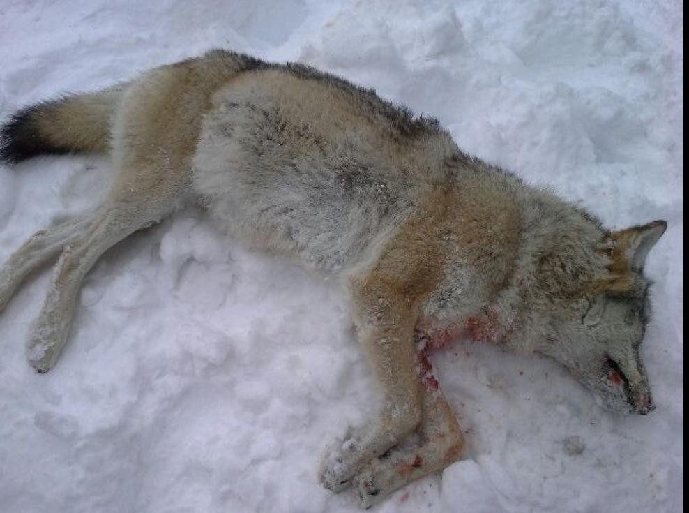 LOVLIG SKUTT: Denne ulvetispa ble skutt fra helikopter på lovlig vis i Rendalen i Hedmark 5. februar i år. FOTO: STATENS NATUROPPSYN