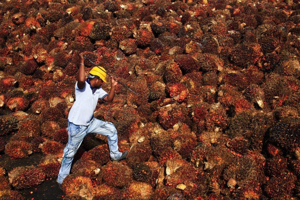 FORBUDEN FRUKT: En arbeider jobber med frukten fra oljepalmen, som brukes for å fremstille den mye omdiskuterte palmeoljen. Foto: REUTERS