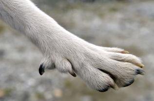 <p>Avinor i Tromsø bruker lundehunder for å holde hekkende fugler unna flyplassområdet. Lundehunder er spesielt myke for å kunne krype inn i huler hvor fugler hekker. De har en ekstra klo på foten. Dette er lundehunden Frøya.</p>