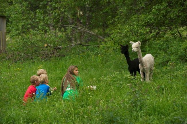 <p>TETT PÅ DYRA: Farmen-aktiviterene på Ål innebærer nærkontakt med dyr - som disse alpakkaene.</p>