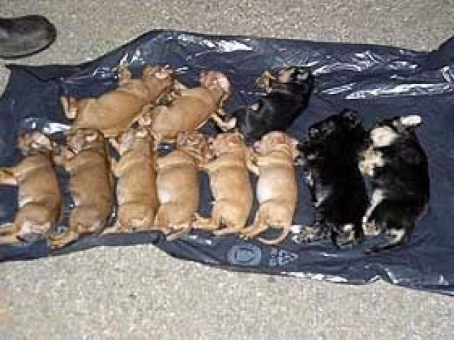 <p>SMUGLET: Populære hunder smugles under svært dårlige forhold og transporteres til Norge for videresalg. I noen tilfeller overlever de heller ikke transporten inn til landet. Her er et eksempel på hunder som ble smuglet fra Polen til Sverige.</p>