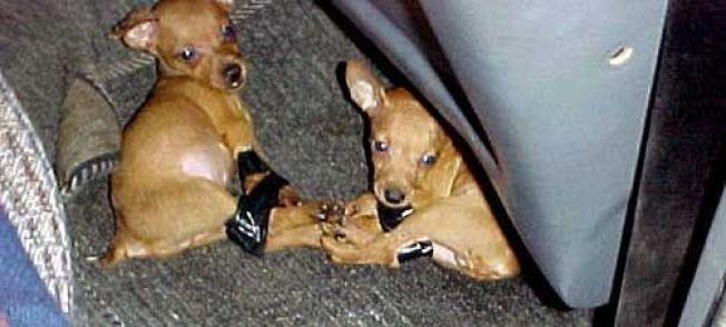 <p>SLIK BLIR DE SMUGLET: Ifølge Dyrebeskyttelsen blir populære hunder sendt over landegrensene - dårlig behandlet.</p>