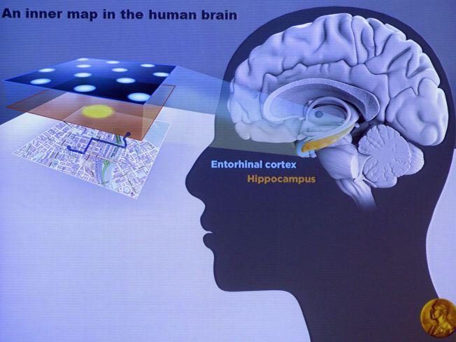 <p>BANEBRYTENDE FUNN: Nobelprisvinnerne har forsket på hvordan hjerneceller utfører avanserte intellektuelle prosesser, som stedssansen. Denne orienteringsevnen kalles hjernens«indre GPS» Foto: AFP PHOTO<br/></p><p><br/></p>