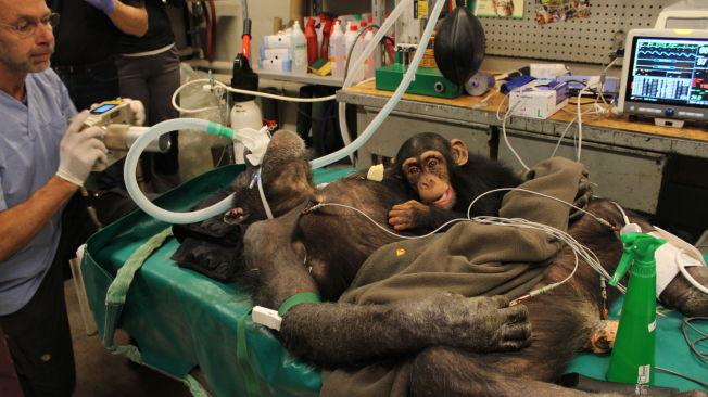 <p>VONDT I TENNENE: Sjimpansen Jutta fikk ha med ungen sin på operasjonsbordet da hun måtte trekke to tenner. Paul Clausen fra Gistrup Hestepraksis og Torben Lindberg fra Familiedyrlgene hjal veterinær Trine Hammer Jensen med operasjonen.<br/></p>