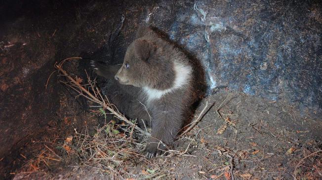 DEN FØRSTE TIDEN: Her er den ene bjørnungen inne i hiet etter trillingfødselen i 2012.