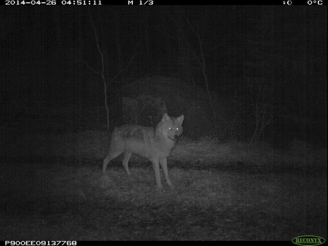<p>ULVENE KOMMER: NRKs Ut i naturen-program om ulvene i Østmarka fikk 130 personer til å tenne på alle plugger.<br/></p>