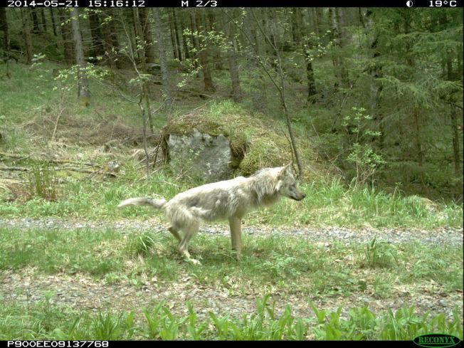 <p>SKAPER REAKSJONER: TV-programmet «Ut i naturen: Ulvene kommer» er en av hovedsakene under torsdagens Kringkastingsråd.<br/></p>