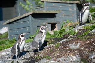 <p>BORTFØRT: De tre pingvinkyllingene som ble stjålet fra Atlanterhavsparken i Ålesund natt til torsdag, er trolig ikke i live. Syv russ mistenkes å stå bak tyveriet.<br/></p>