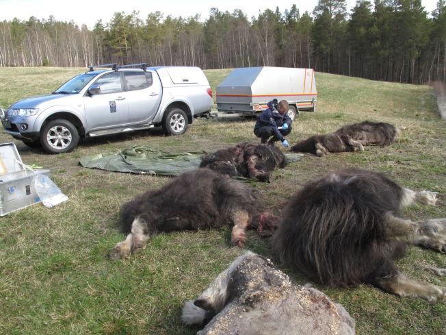 <p>PÅKJØRT: Fem moskuser ble påkjørt og drept på Dovrebanen mellom Vålåsjø og Hjerkinn fredag kveld.</p>