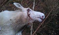 Elgjeger skjøt skadet albinoelg