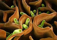 Vi har færre bakterier i kroppen enn vi trodde