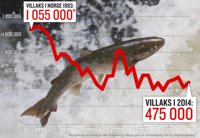 <p>NEGATIV UTVIKLING: Innsiget av laks er redusert med 55 prosent fra de første fire til de siste fire årene i perioden fra 1983 til 2014. Størrelse på lakseinnsiget er gitt som antall voksne laks som kommer fra havet til elvene for å gyte, før beskatning i sjø- og elvefisket. Til tross for en liten oppgang det siste året opplyser Vitenskapelig råd for lakseforvaltning at trenden totalt sett fremdeles er nedadgående.</p>
