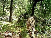 Den siste ville jaguaren i USA fanget på film