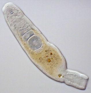 <p>BARE EN ÅPNING: Mikroskopfoto av en flatorm. Den har en åpning som er både for mat og avføring, men har to kjønn - både hann- og hunn-funksjon.</p>