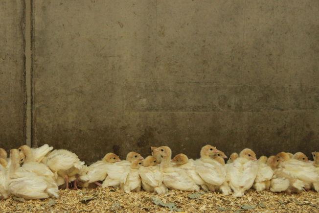 <p>SØTE SMÅ: Kalkunkyllingene er små i starten, men vokser seg raskt store og tunge i løpet av tiden i norske kalkunhus. Der lever de typisk i 12-19 uker - lenger enn vanlig kylling - før de så havner hos slakteren.</p>